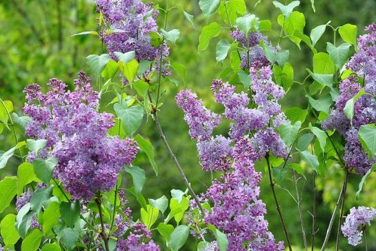 Maintenant le lilas est enfin fleuri, et quelle odeur merveilleuse...