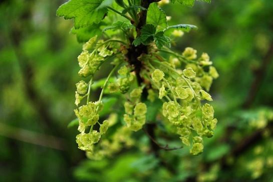 Le groseiller blanc (celui de l'éclipse) est le premier à fleurir. Des fleurs vertes...