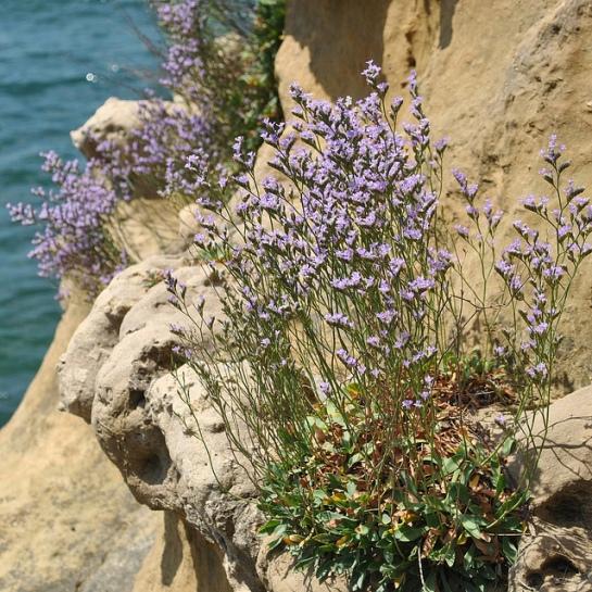 et sur le rocher lui-même pousent ces jolies fleurs, Jacqueline reconnaît des saladelles, que l'on rencontre aussi dans l'étier à Fromentine, dit-elle.