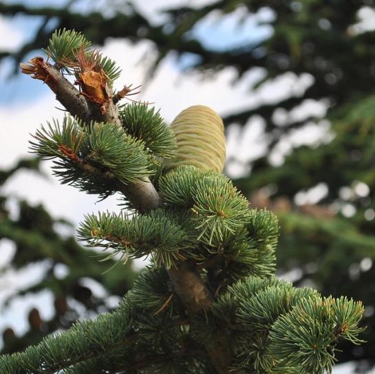 Les cèdres sont encore présents côté français, on est toujours surpris par la présence d'arbres dans ces parages.
